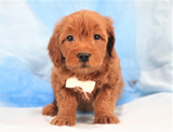 *RESERVED*Jackson Male F2 Mini Goldendoodle Puppy