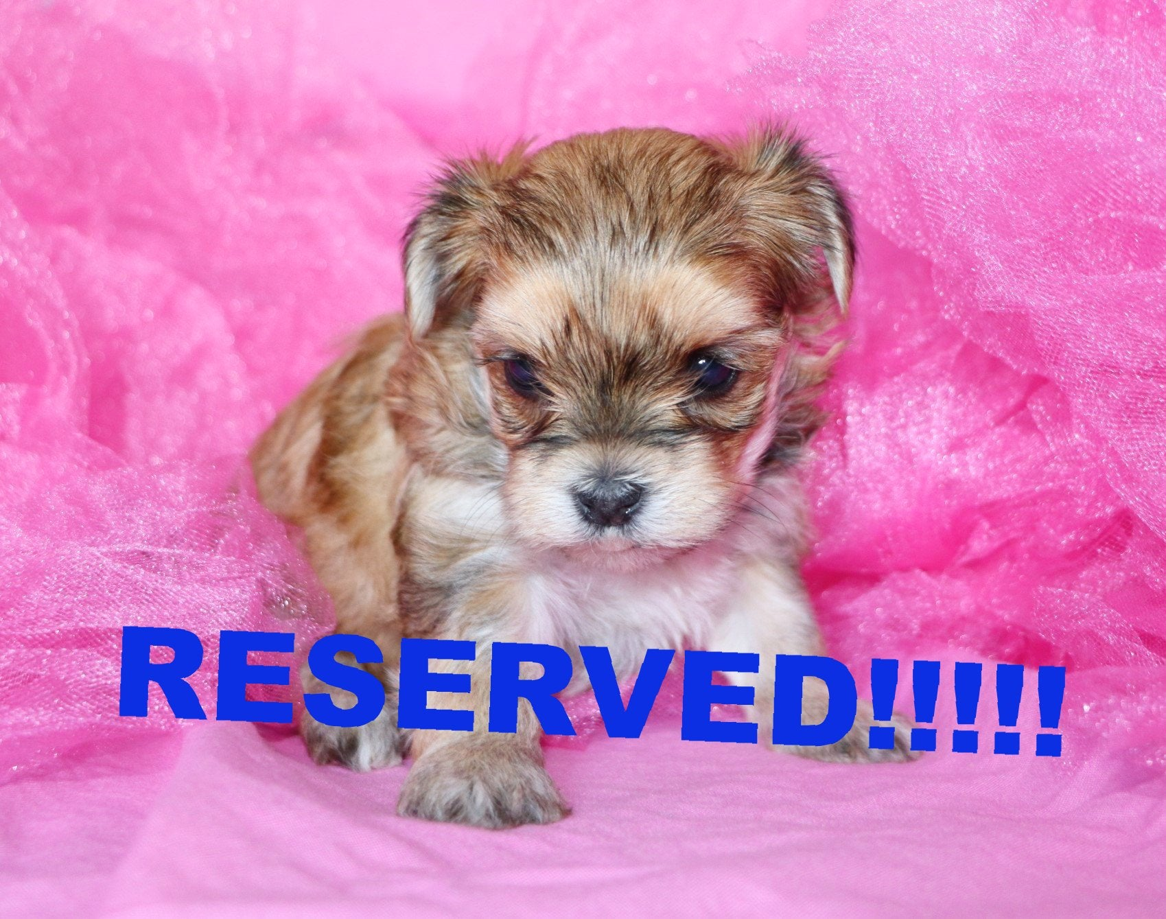 Lady Female Teacup Morkie Puppy *