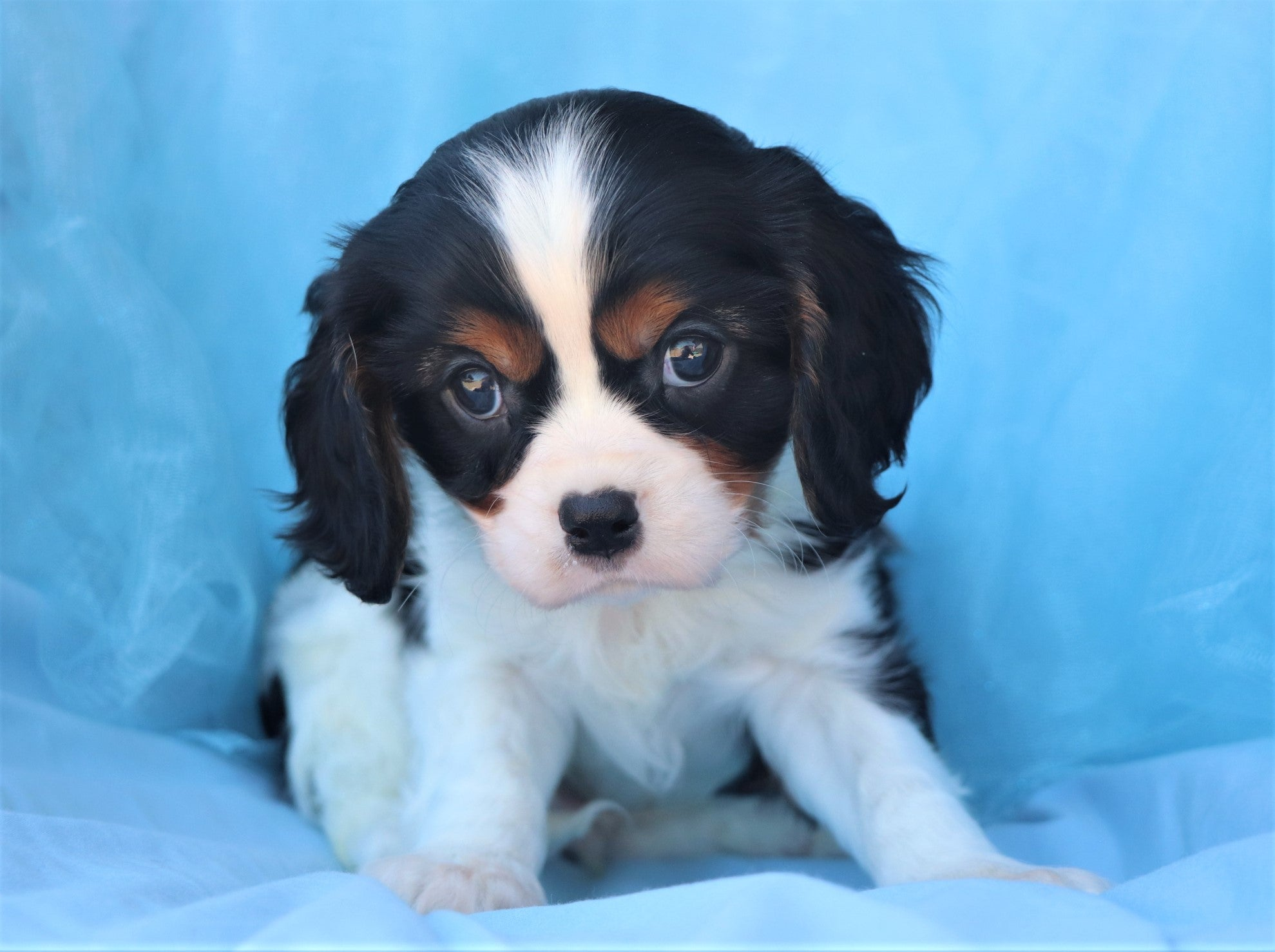 *RESERVED* Midas Male Cavalier King Charles Spaniel Puppy*