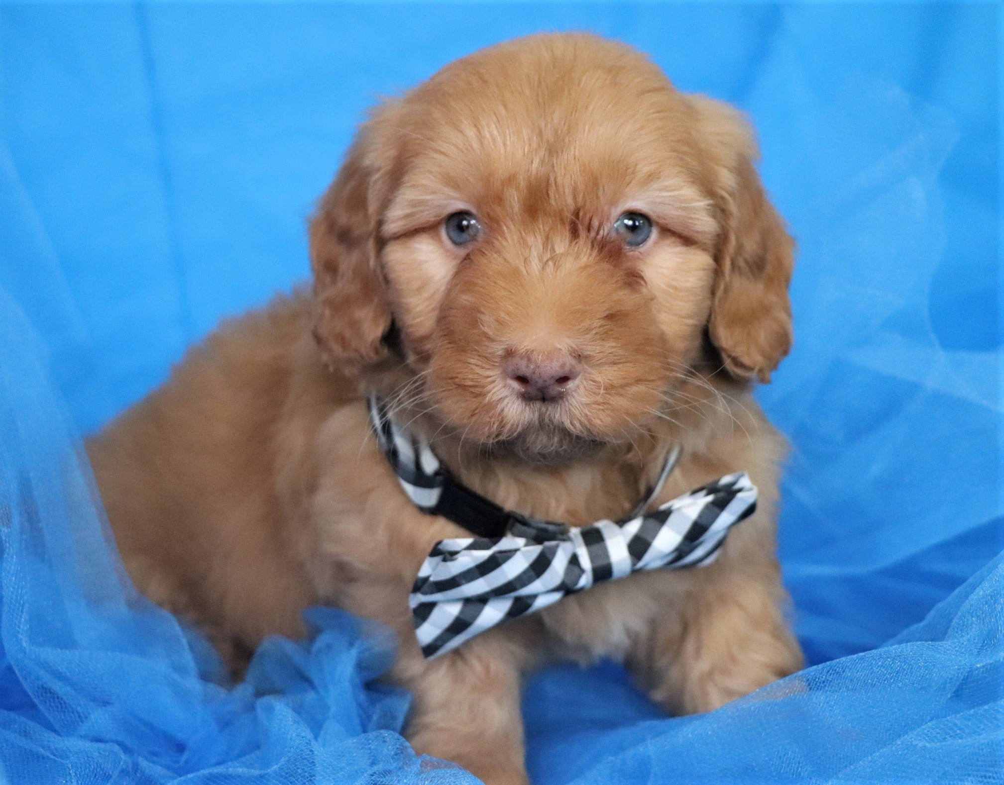 Indigo Male F1B Mini Goldendoodle Puppy