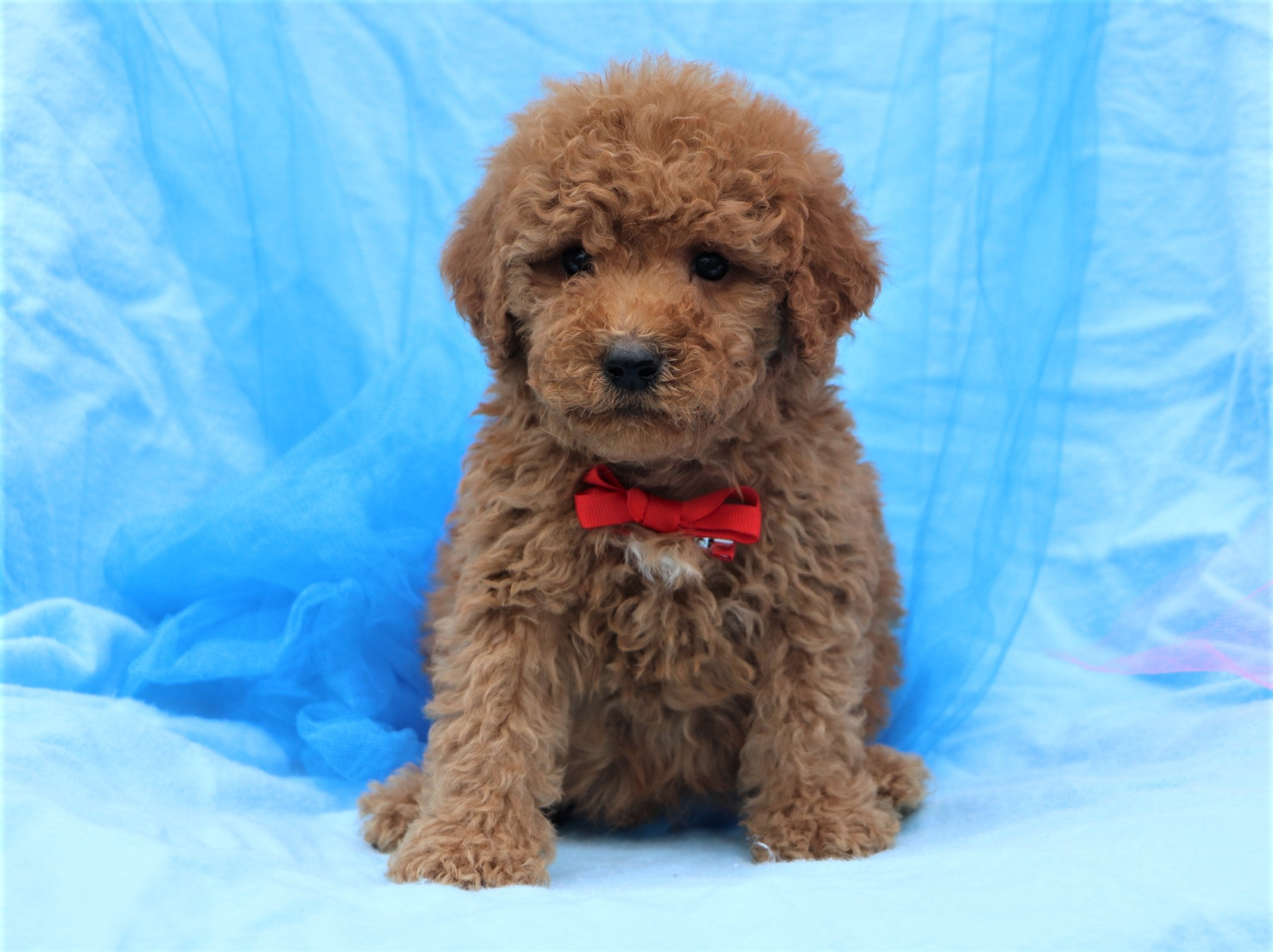 *RESERVED* Manchester Male F2 Goldendoodle Puppy*