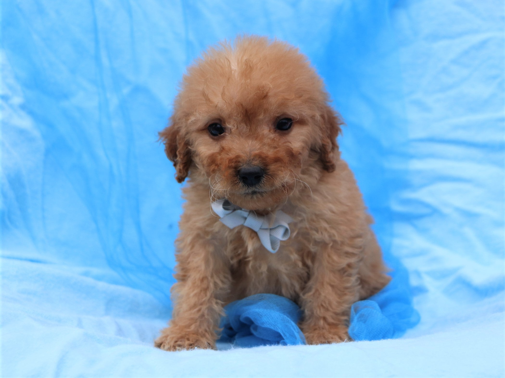 Heathcliffe Male F2 Goldendoodle Puppy*