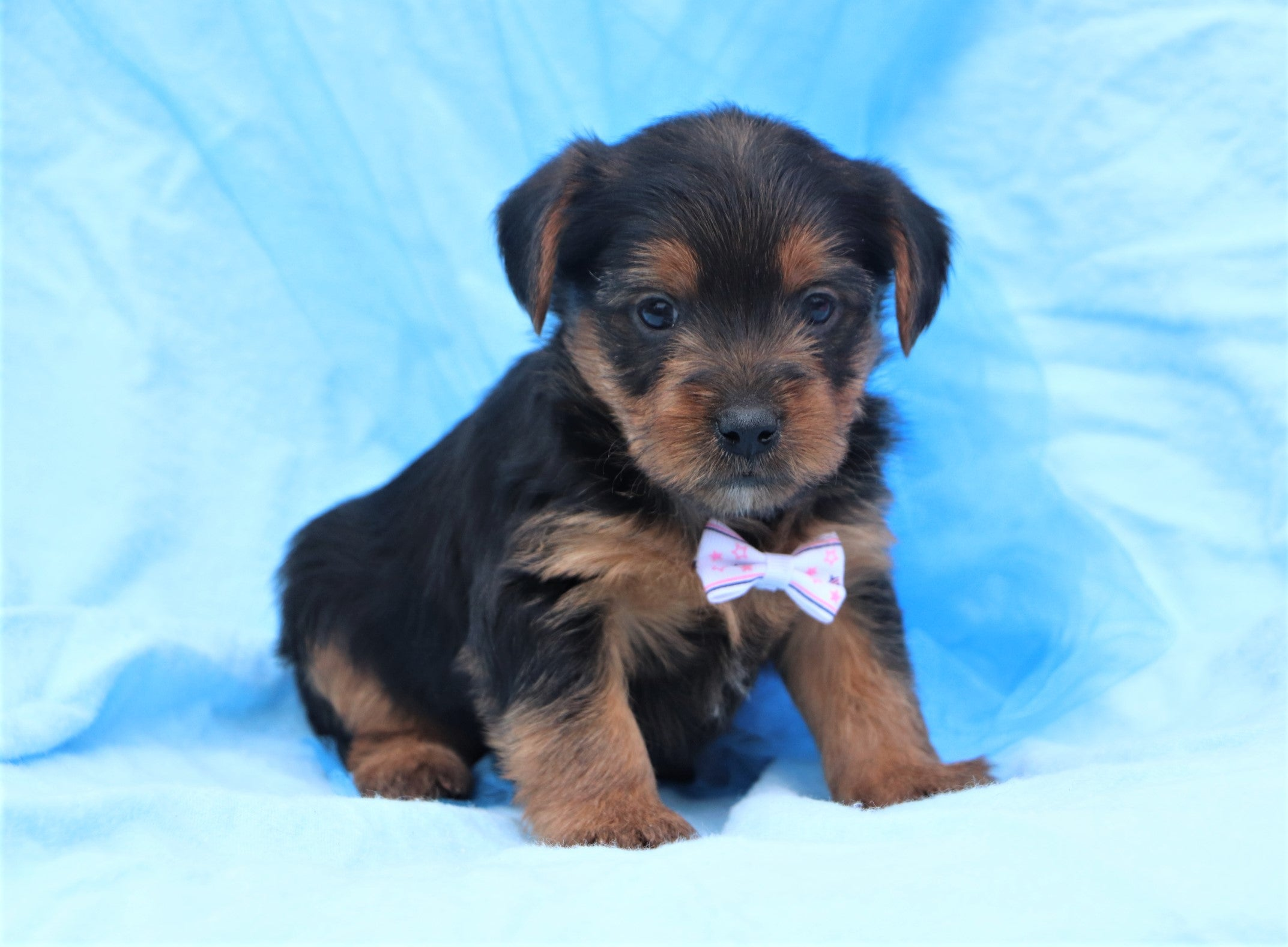 Blizzard Male Teacup Yorkie Puppy*