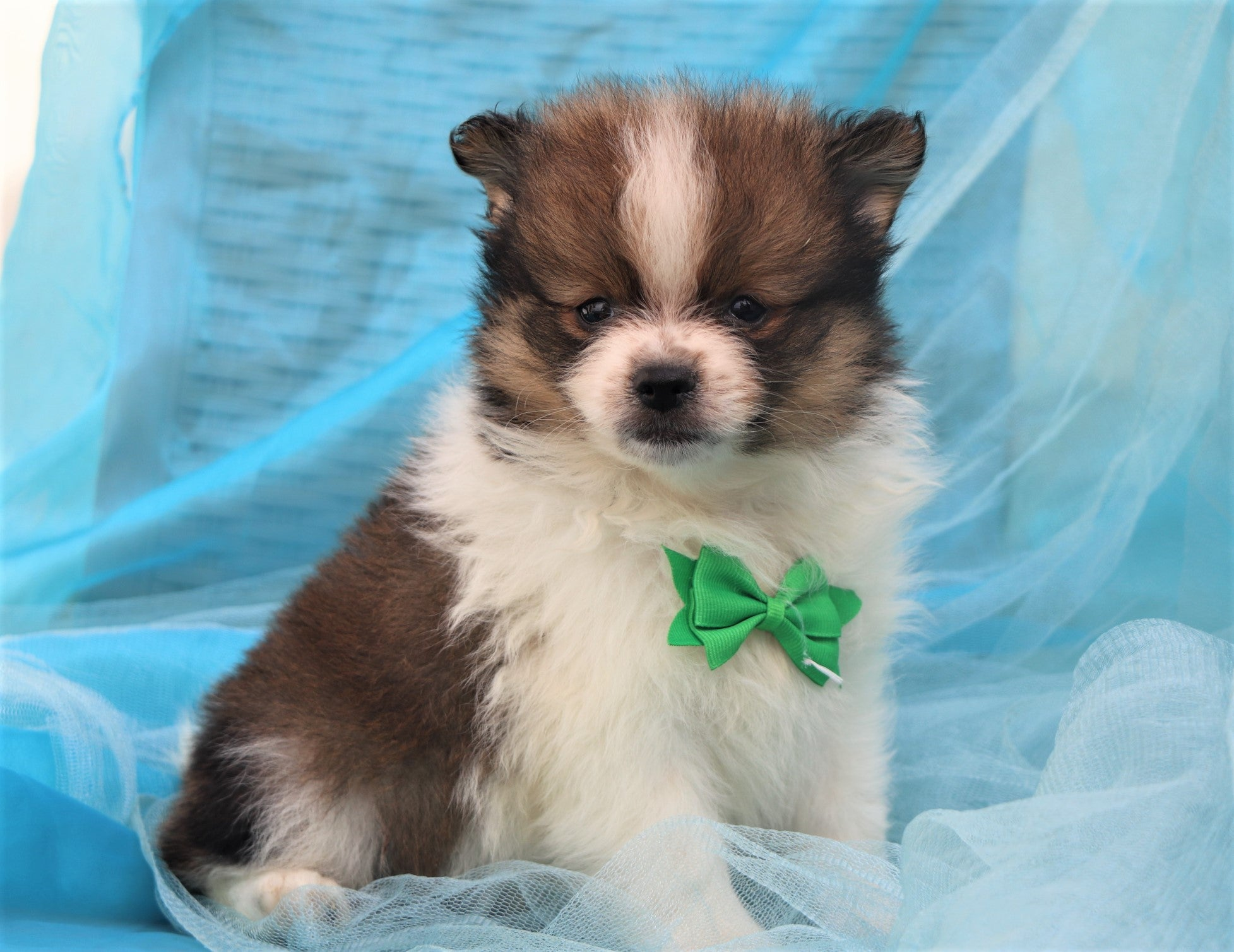 *RESERVED* Donald Male Teacup Pomeranian Puppy