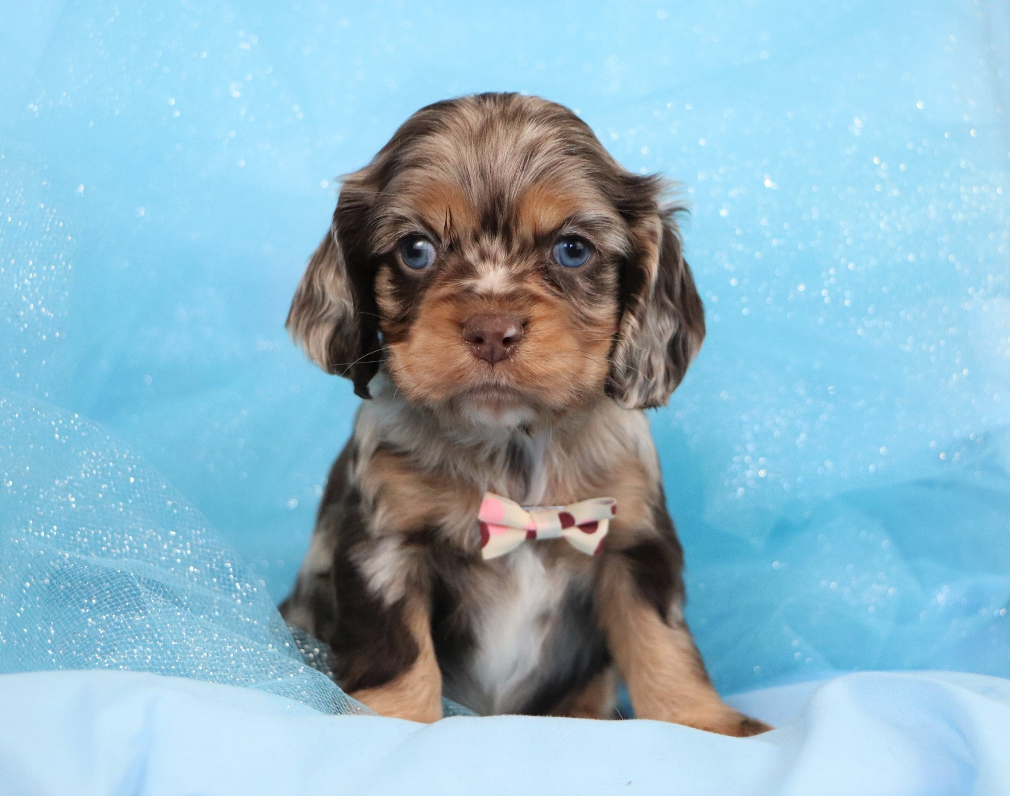 *RESERVED* Howell Male Mini Cocker Spaniel Puppy