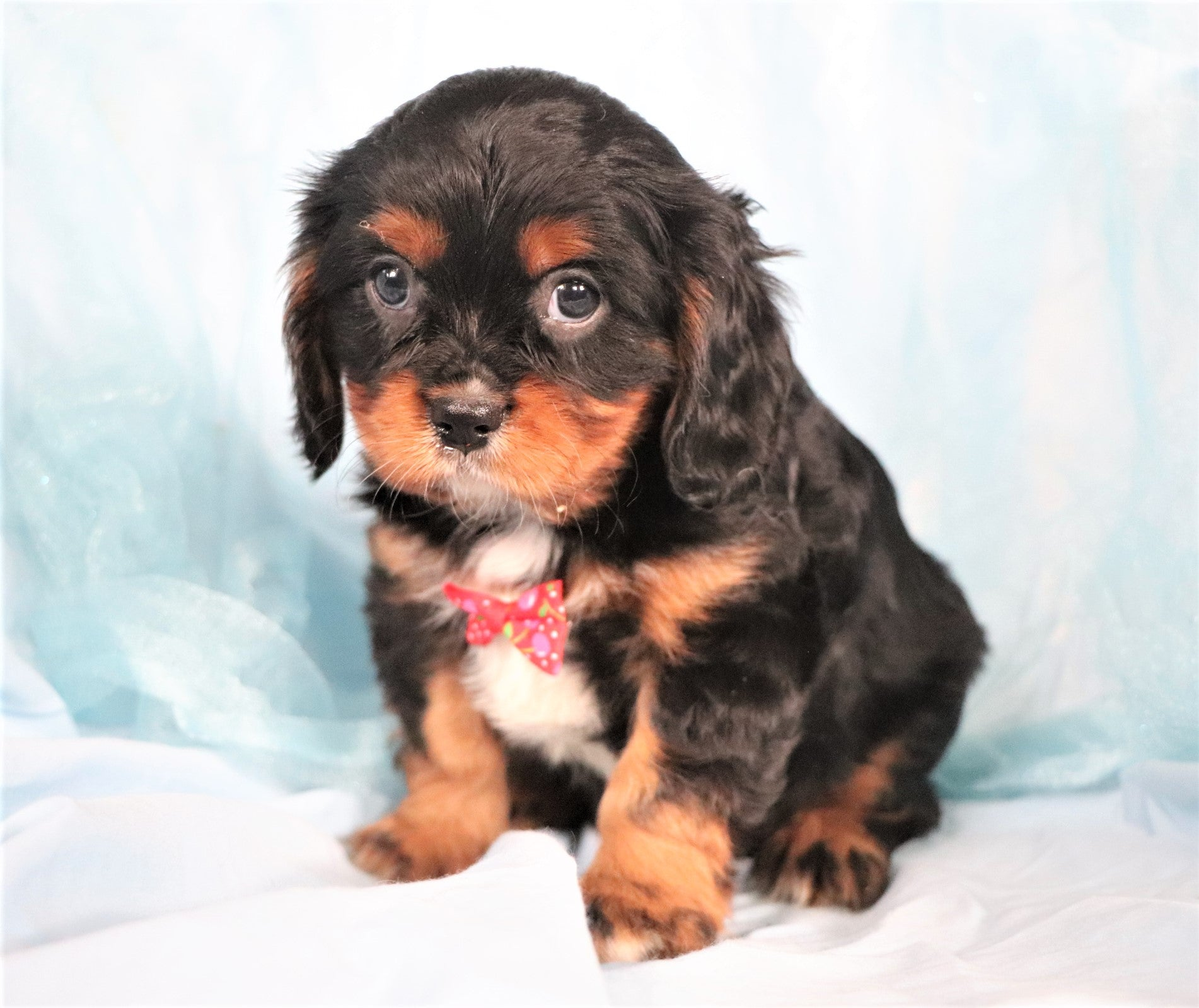 *RESERVED*Bandit Male Cavalier King Charles Spaniel Puppy