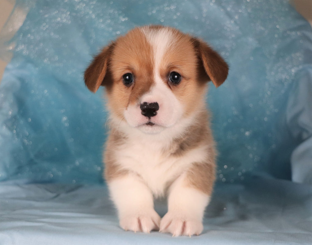 Carrot Male Corgi Puppy*
