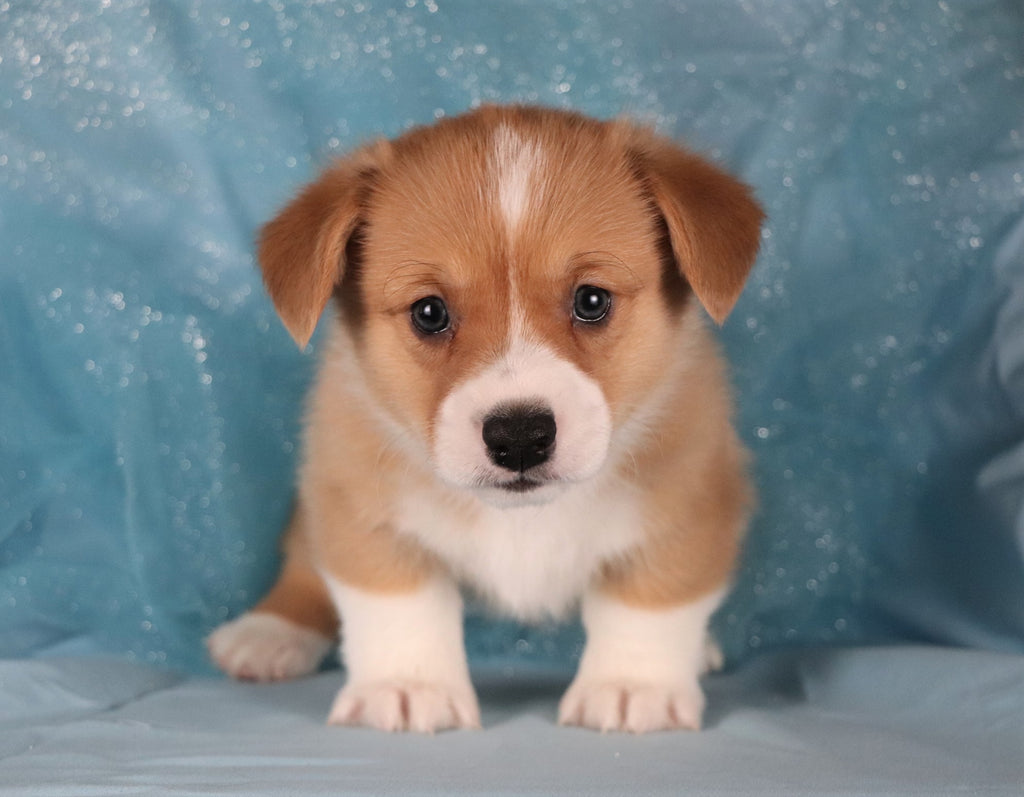 Cucumber Male Corgi Puppy*