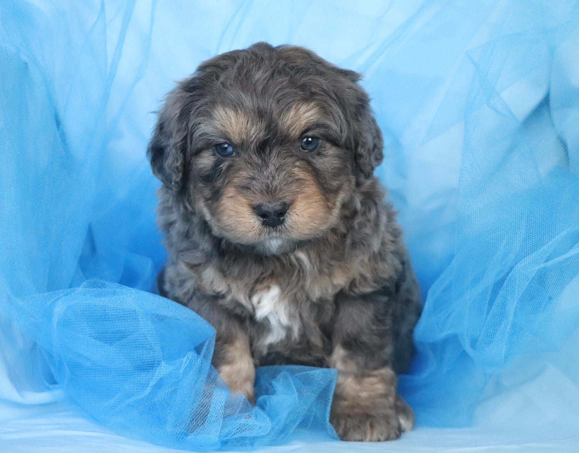 *RESERVED* Amadeus Male Mini Bernedoodle Puppy