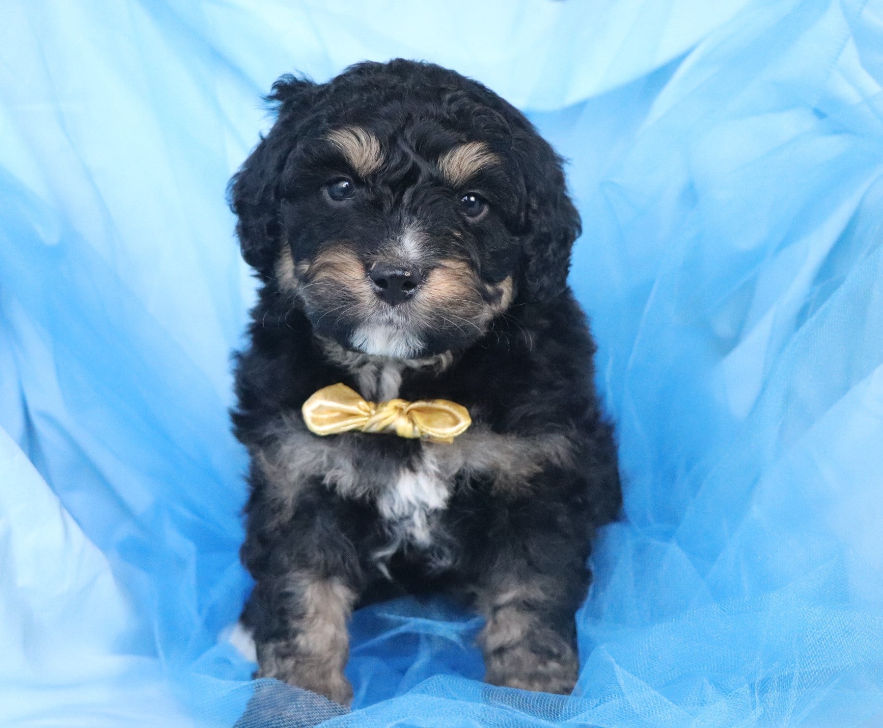 *RESERVED*Sebastian Male Mini Bernedoodle Puppy