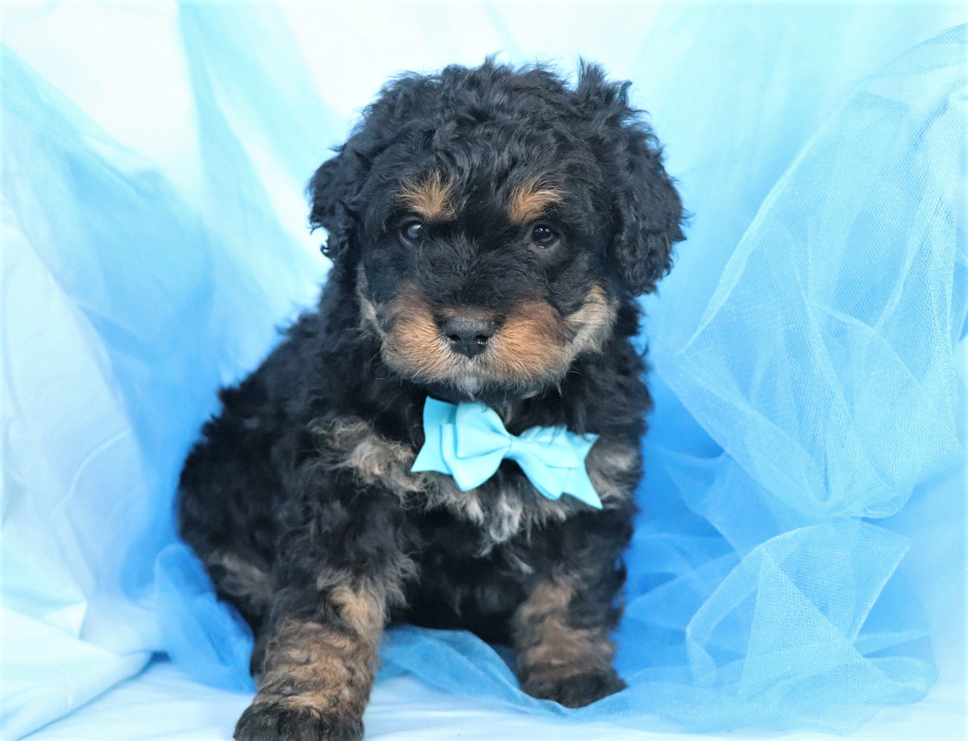 *RESERVED*Schubert Male Mini Bernedoodle Puppy