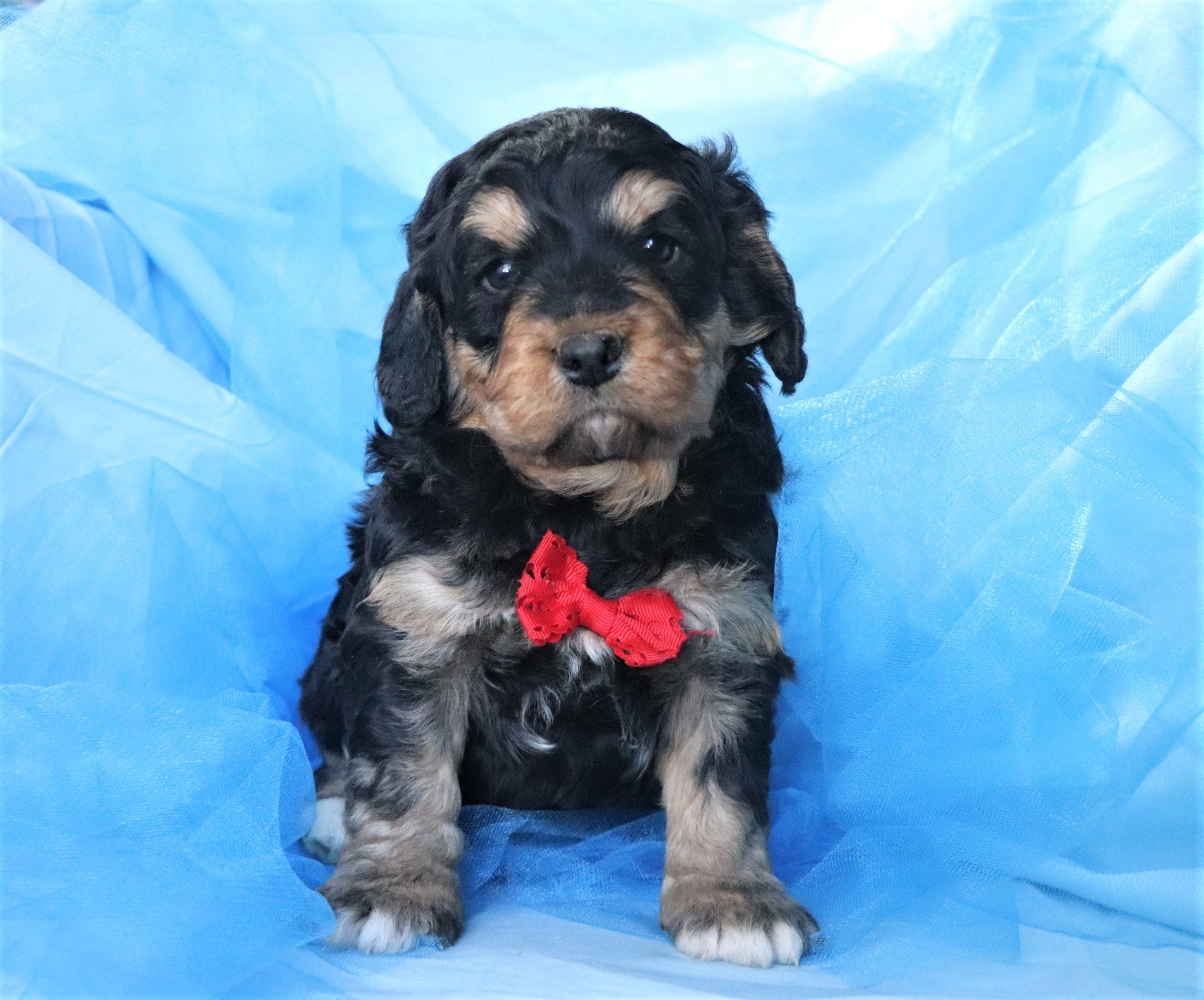 *RESERVED* Venice Male Bernedoodle Puppy*