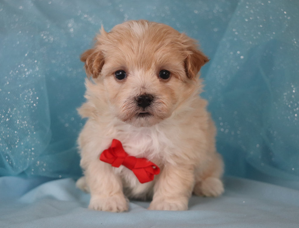 Easton Male Teacup Maltipoo Puppy