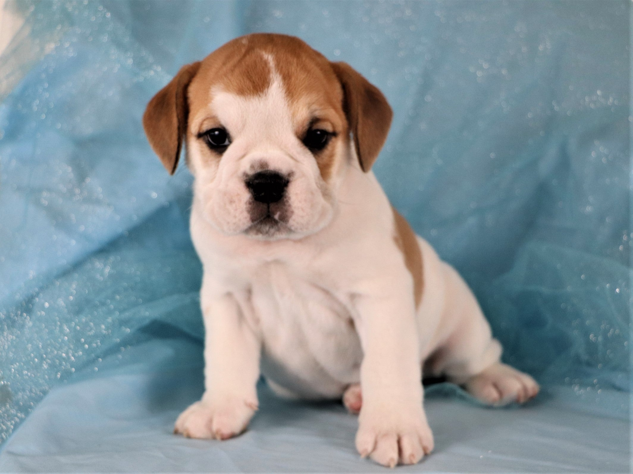 *RESERVED* Jarvis Male Mini Bulldog Puppy