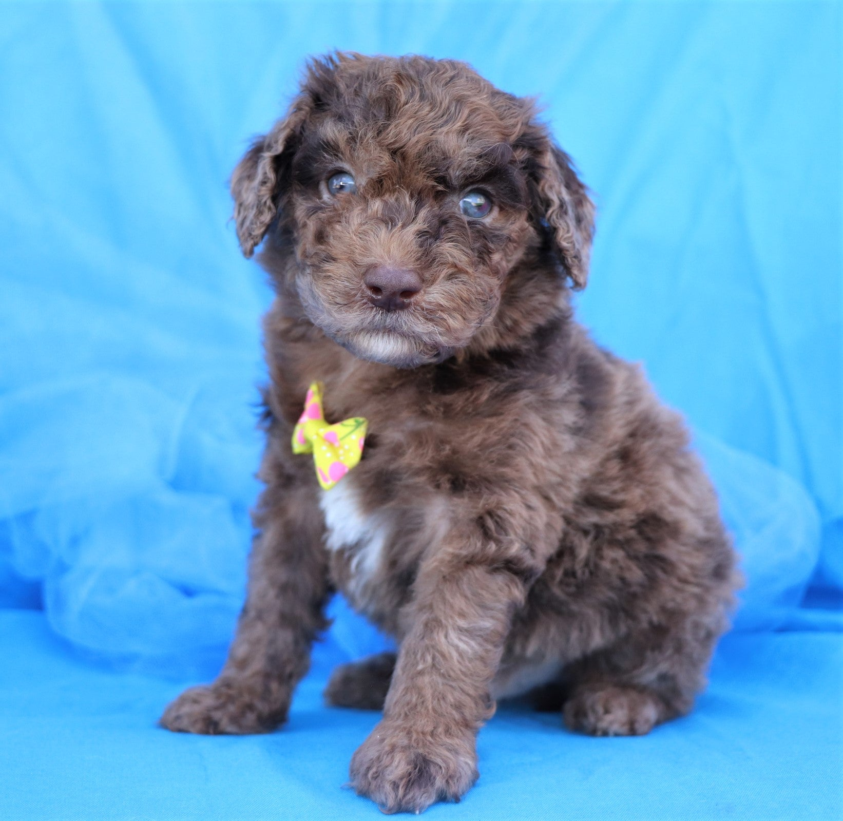 Reserved Apricot Male F1b Mini Sheepadoodle Puppy
