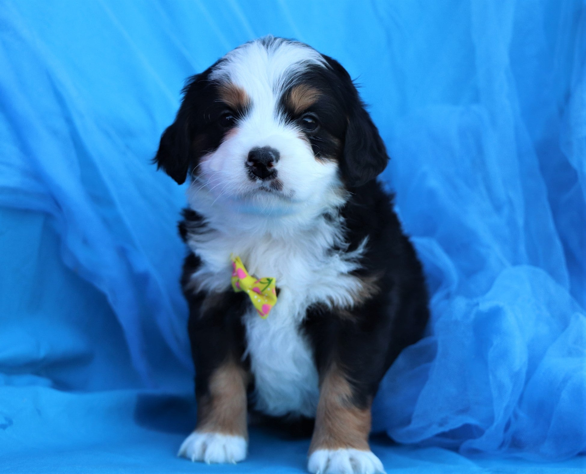 *RESERVED* Dasher Male F2 Bernedoodle Puppy