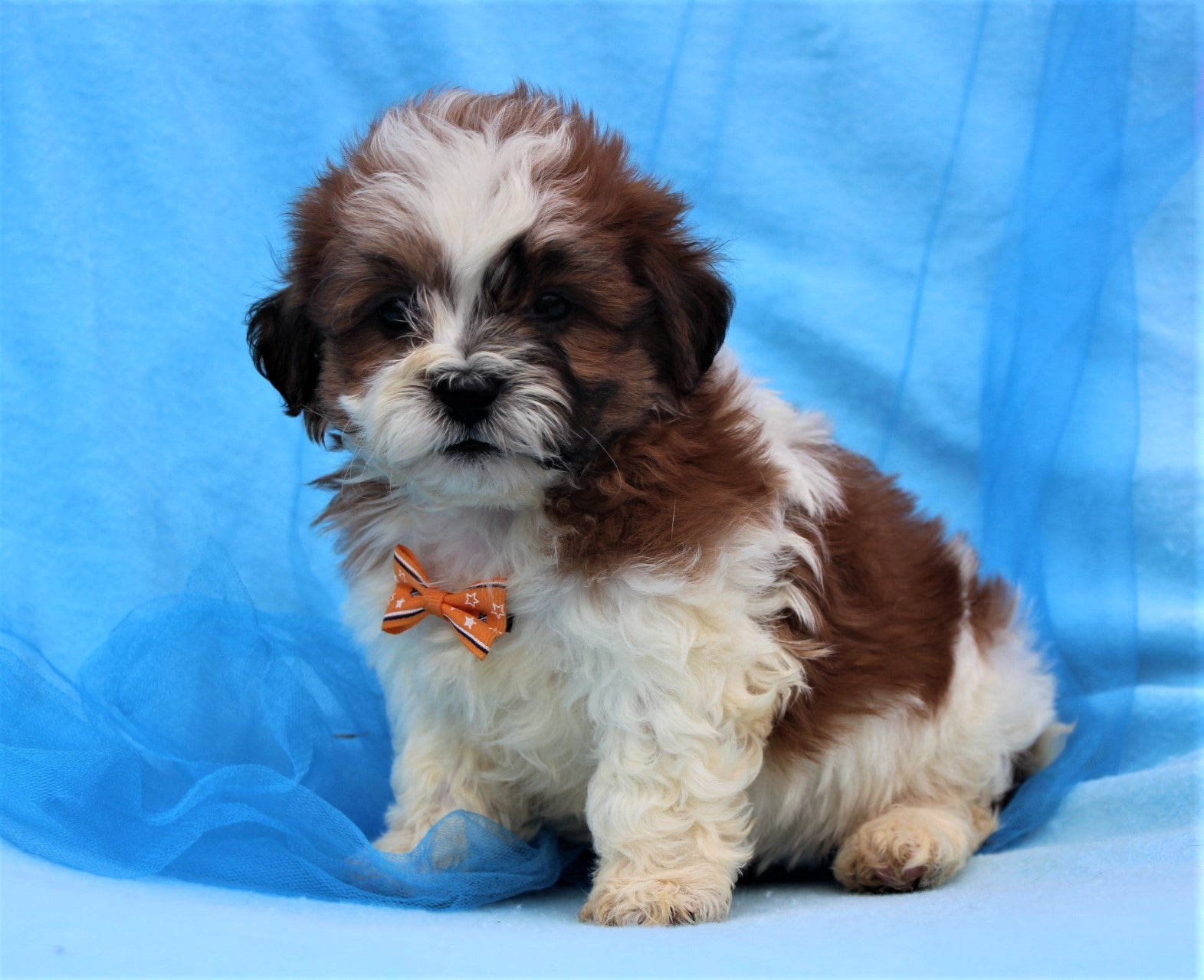 *RESERVED* Cowboy Male Teacup Teddy Bear Puppy