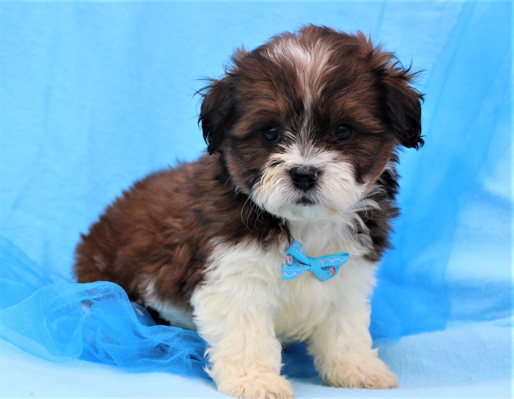 *RESERVED* Chief Male Teacup Teddy Bear Puppy