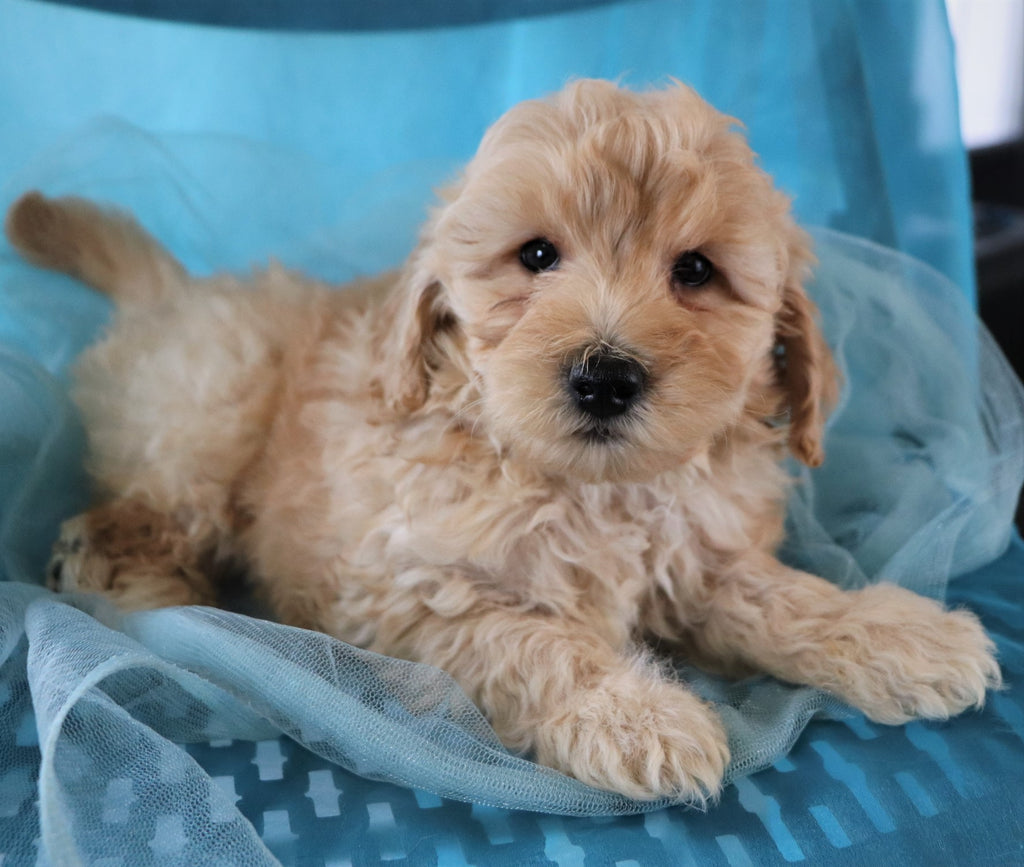 Mac Male F1B Mini Goldendoodle Puppy*