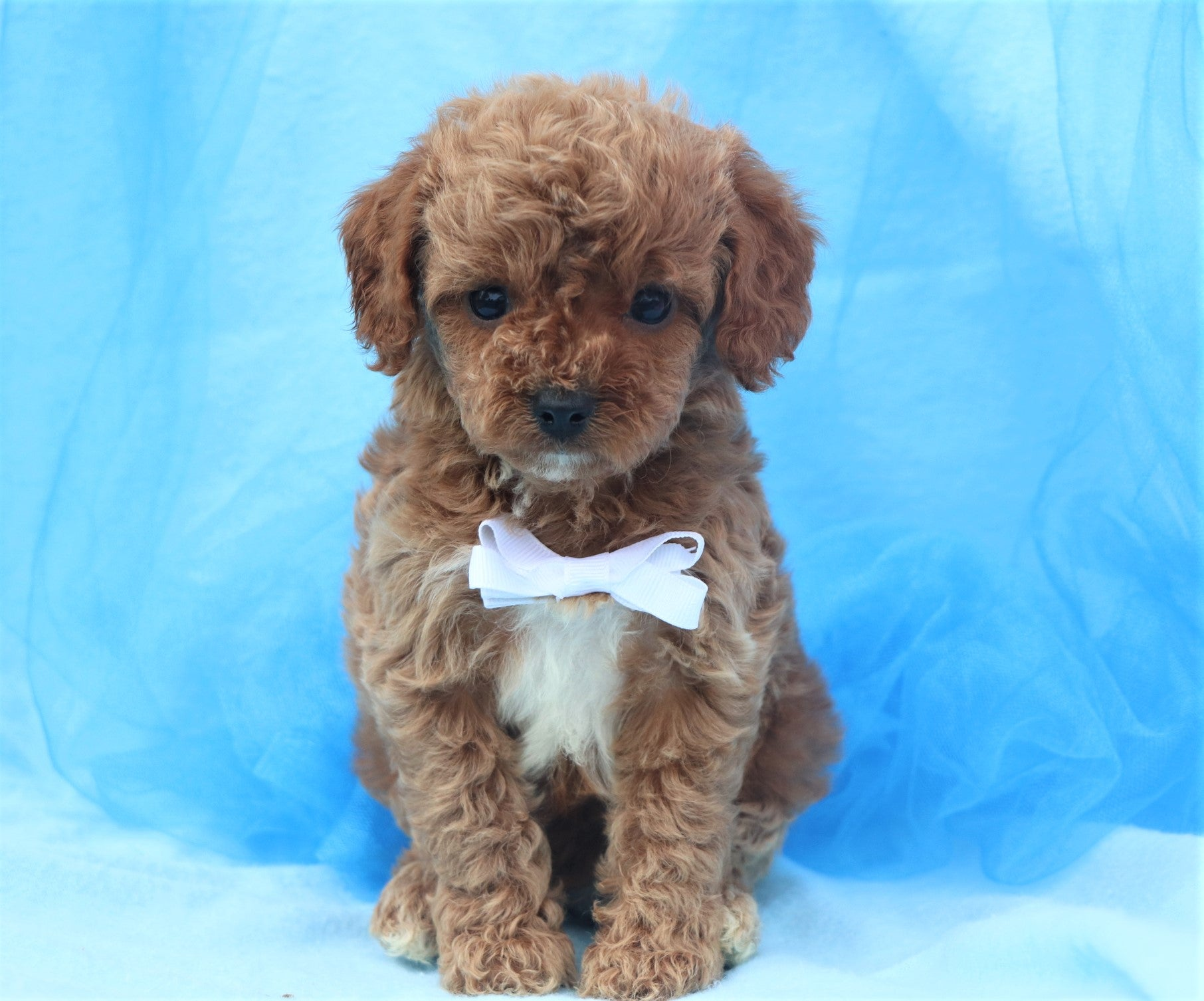 *RESERVED*Balsam Male Forever Puppy