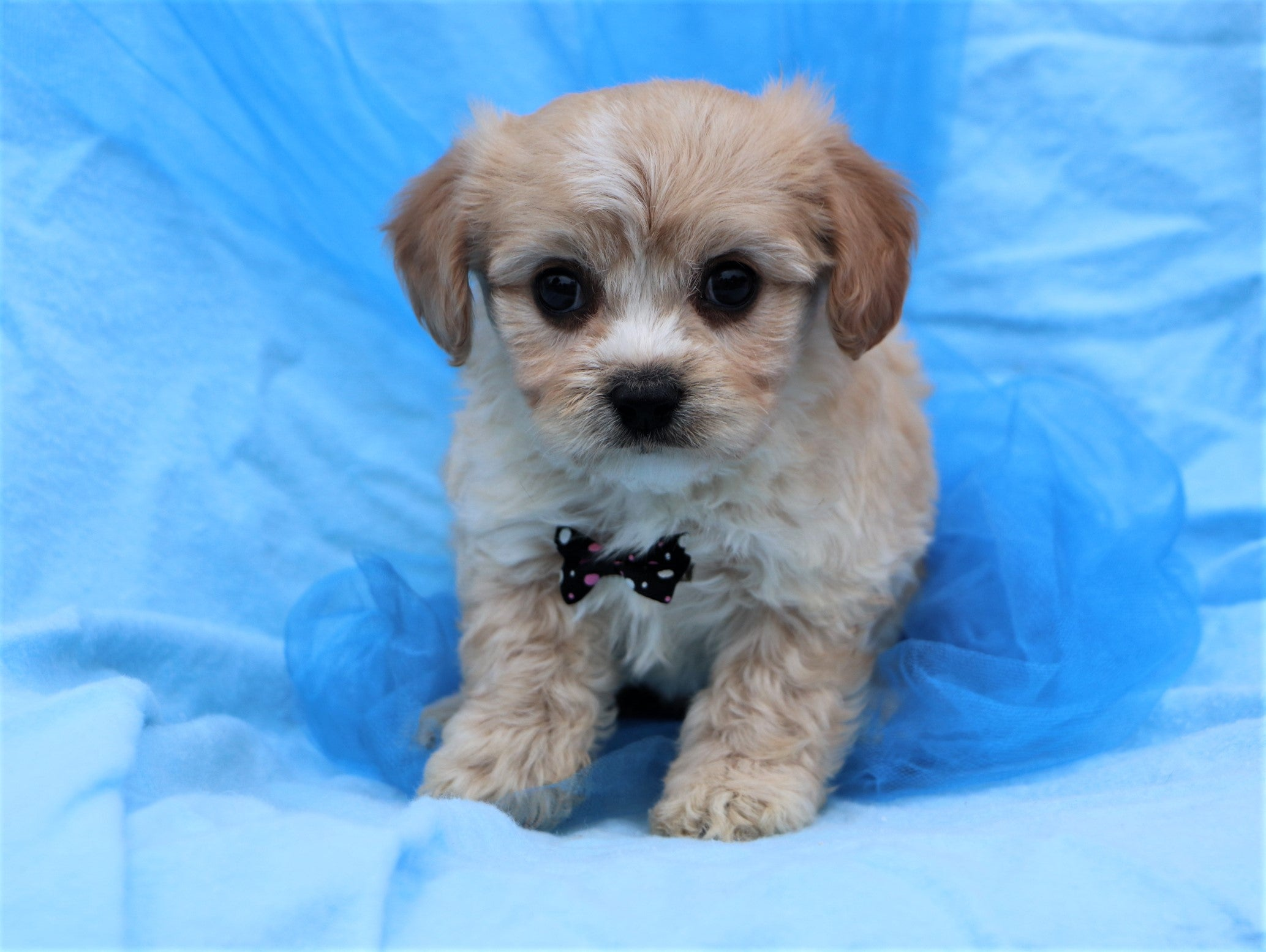 *RESERVED* December Male Cavachon Puppy