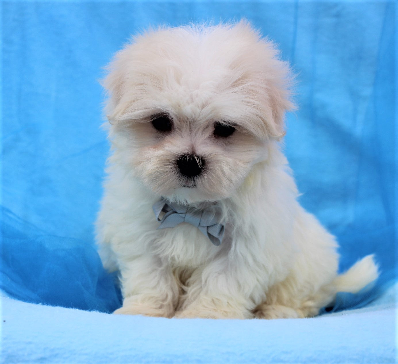 *RESERVED*Cream Puff Male Teacup Maltese Puppy