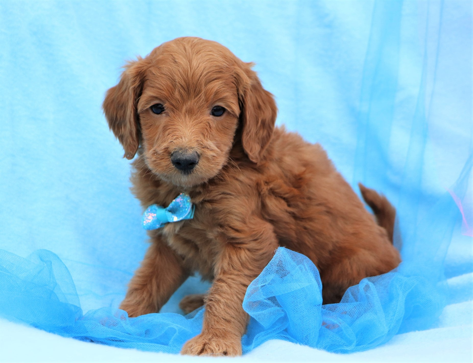 *RESERVED* Dracula Male F2 Mini Goldendoodle Puppy