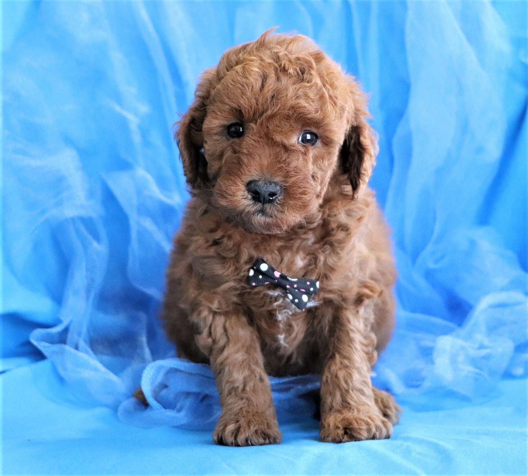 *RESERVED* Chestnut Male F1B Mini Goldendoodle Puppy*
