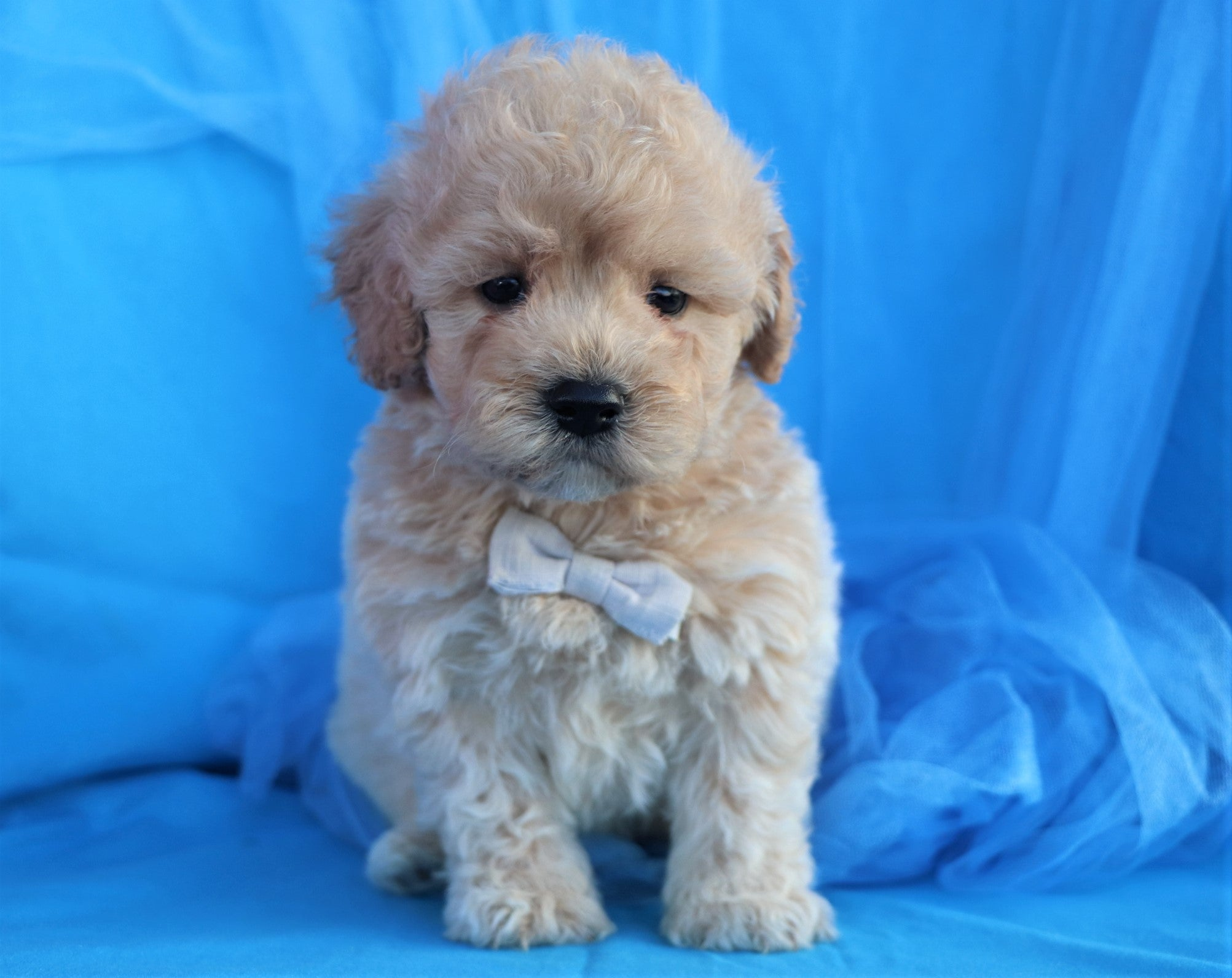 *RESERVED* Sunny Male Teacup Forever Puppy