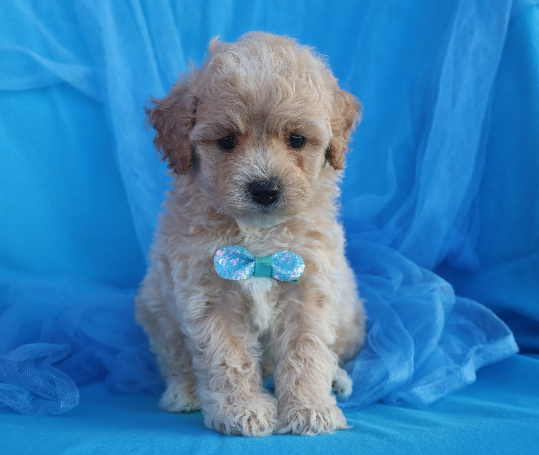 *RESERVED* Honeycomb Male Teacup Forever Puppy