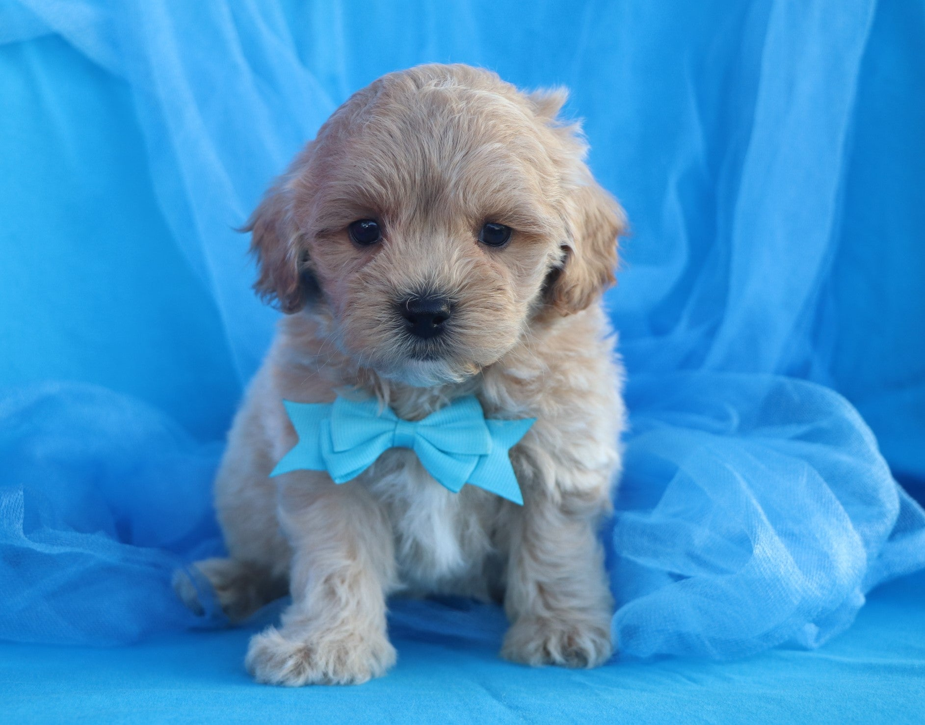 *RESERVED* Dandelion Male Teacup Forever Puppy