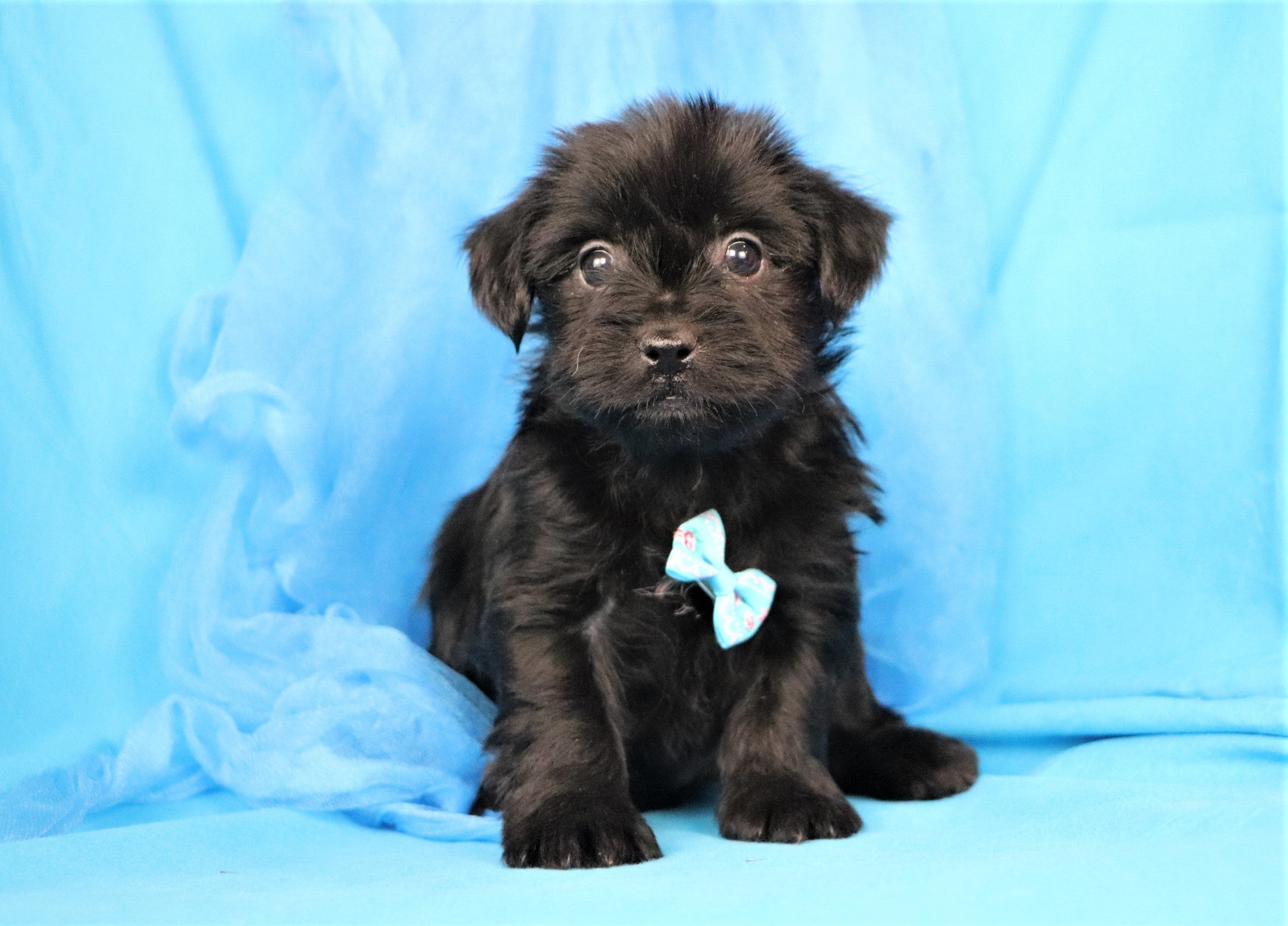 *RESERVED* Lagoon Male Teacup F2 Yorkiepoo Puppy