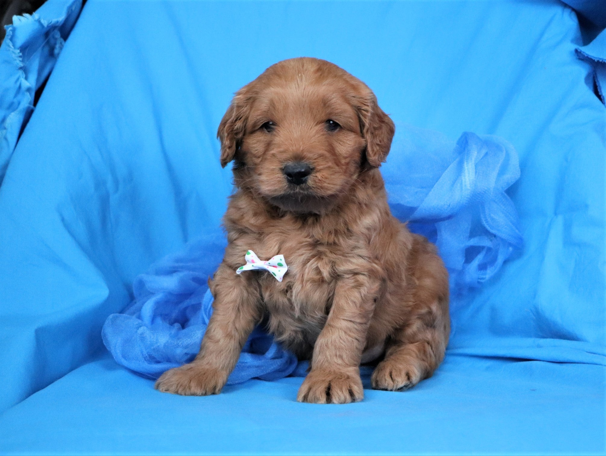 *RESERVED*Palmer Male F1B Mini Goldendoodle Puppy