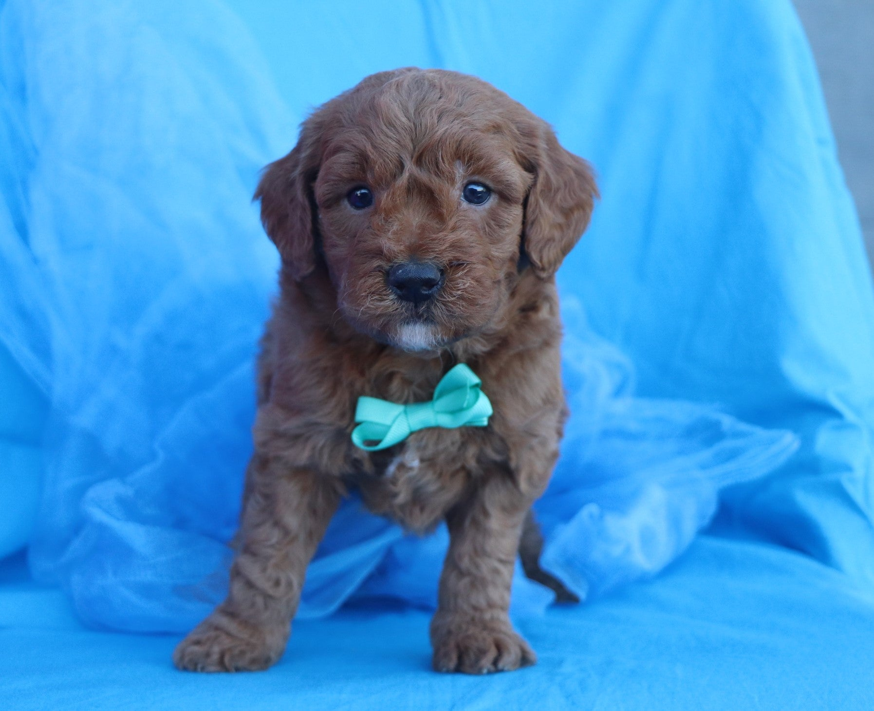 *RESERVED* Joplin Male F2 Mini Goldendoodle Puppy*