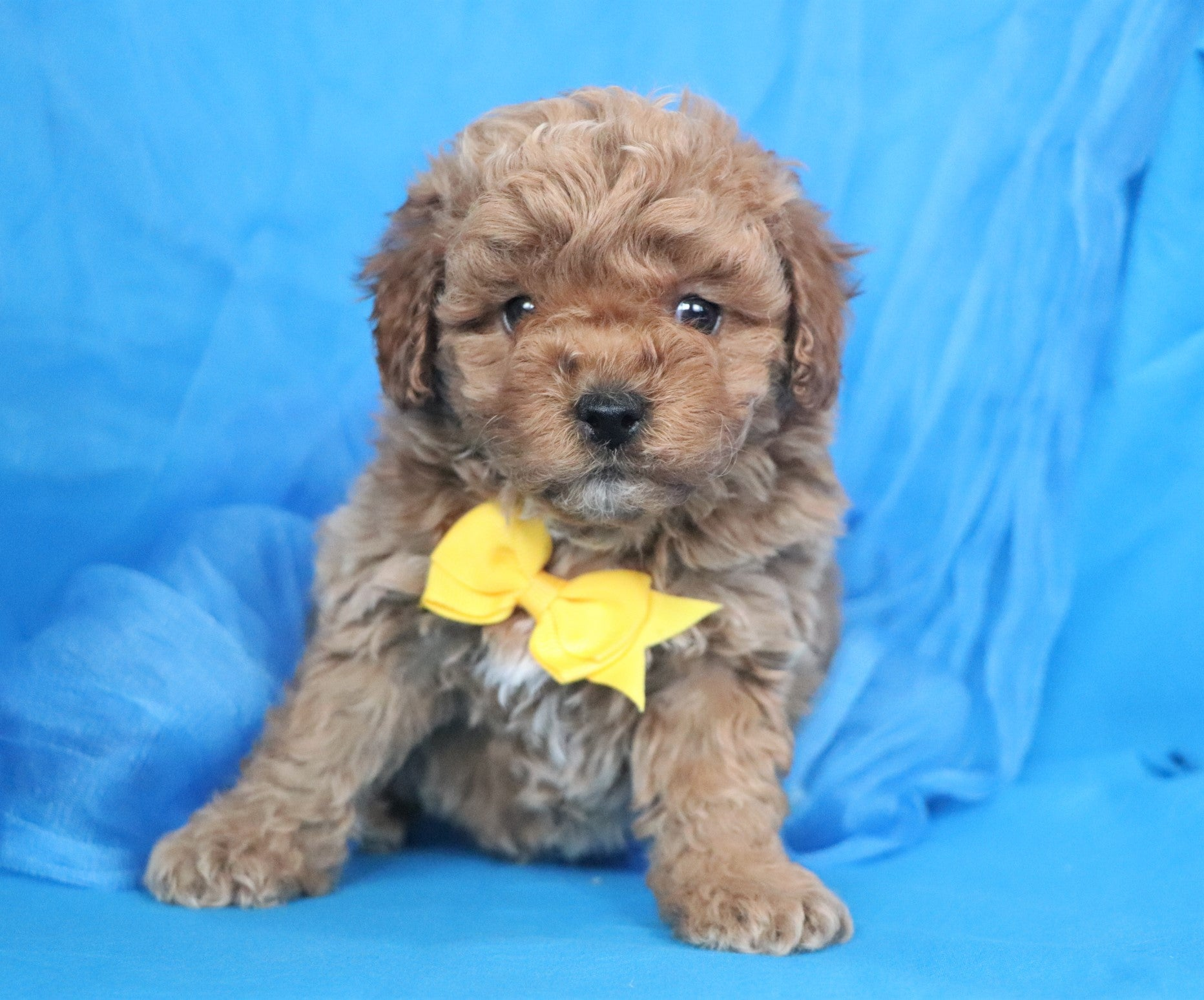 *RESERVED* James Male Teacup Forever Puppy