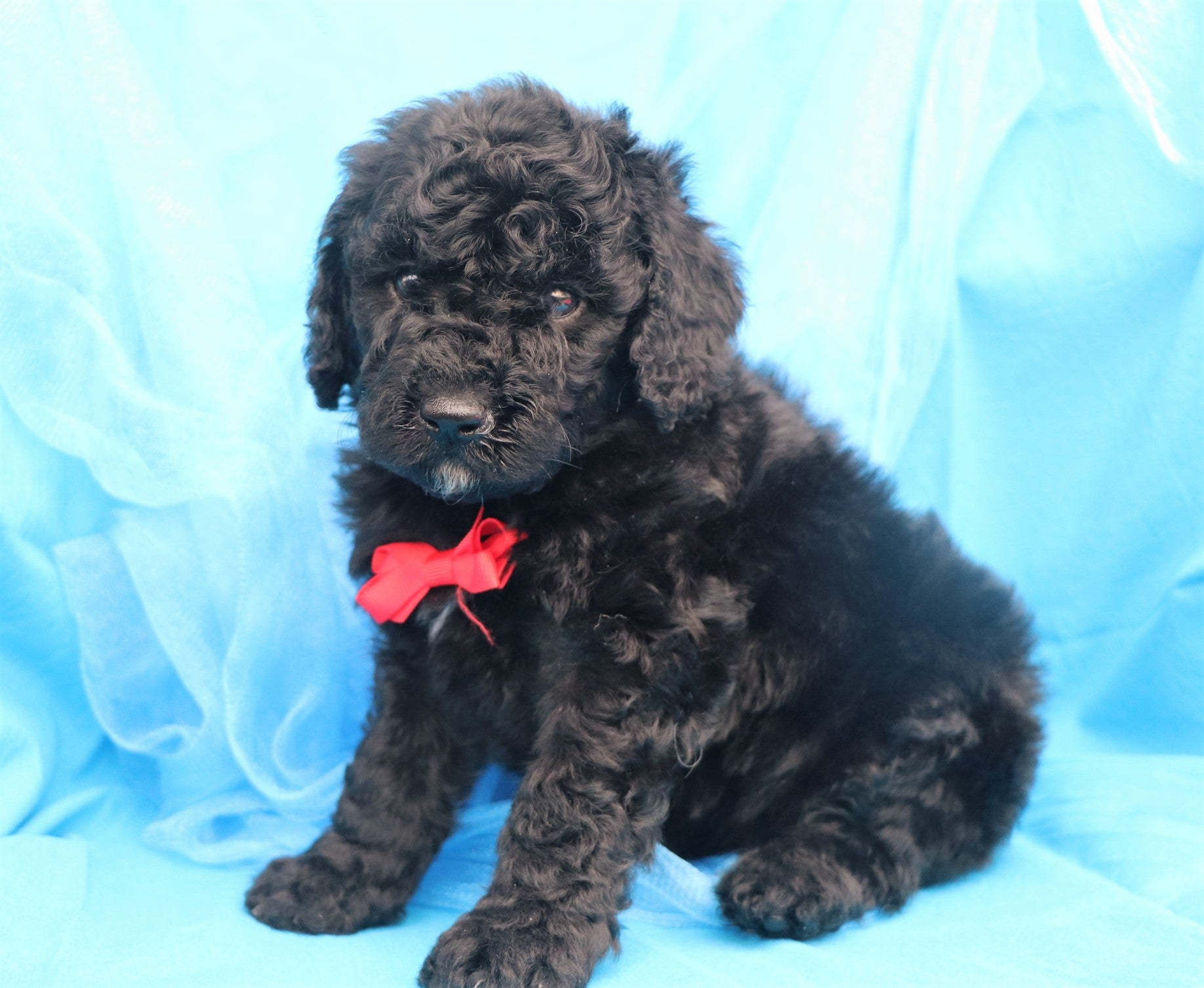 Shakespeare Male F1B Sheepadoodle Puppy*