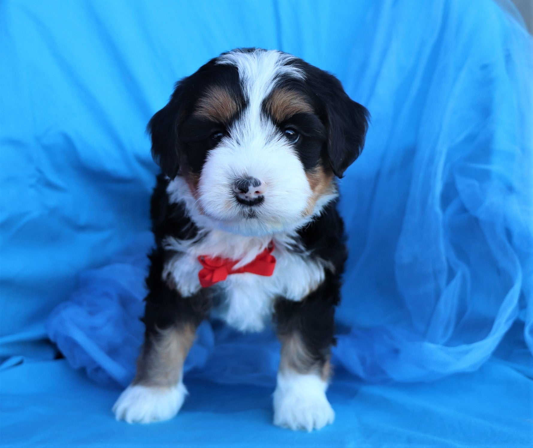 *RESERVED* Sampson Male F2 Bernedoodle Puppy*