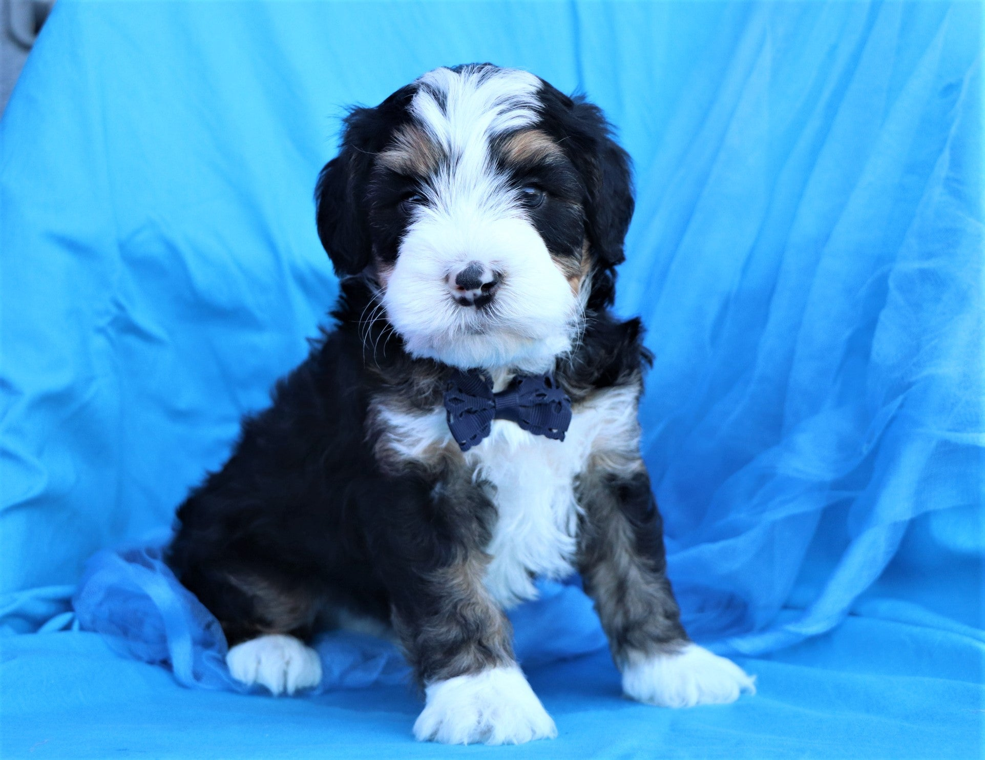 *RESERVED*Gregory Male F2 Bernedoodle Puppy