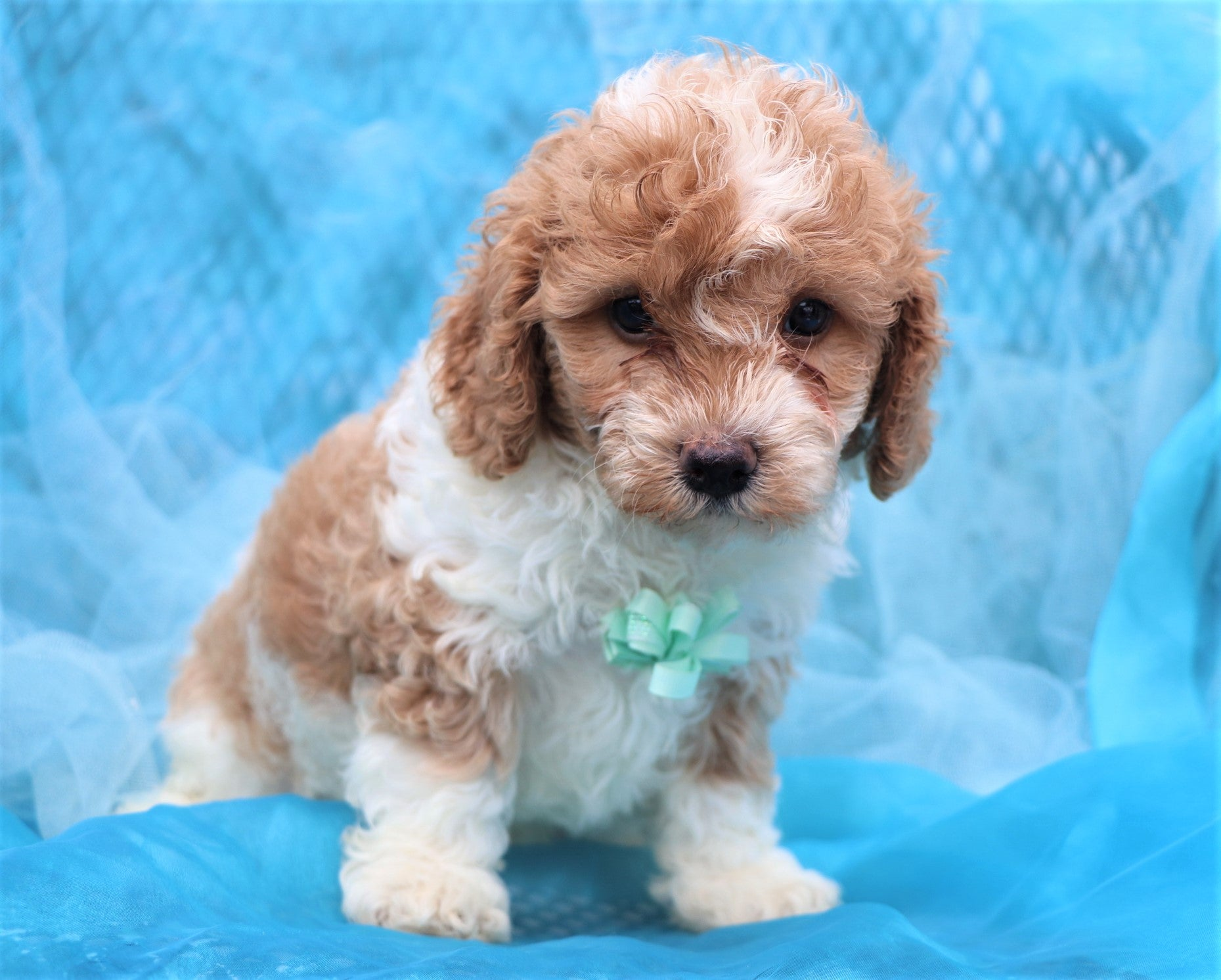 *RESERVED* Merlin Male F1B Cavapoo Puppy