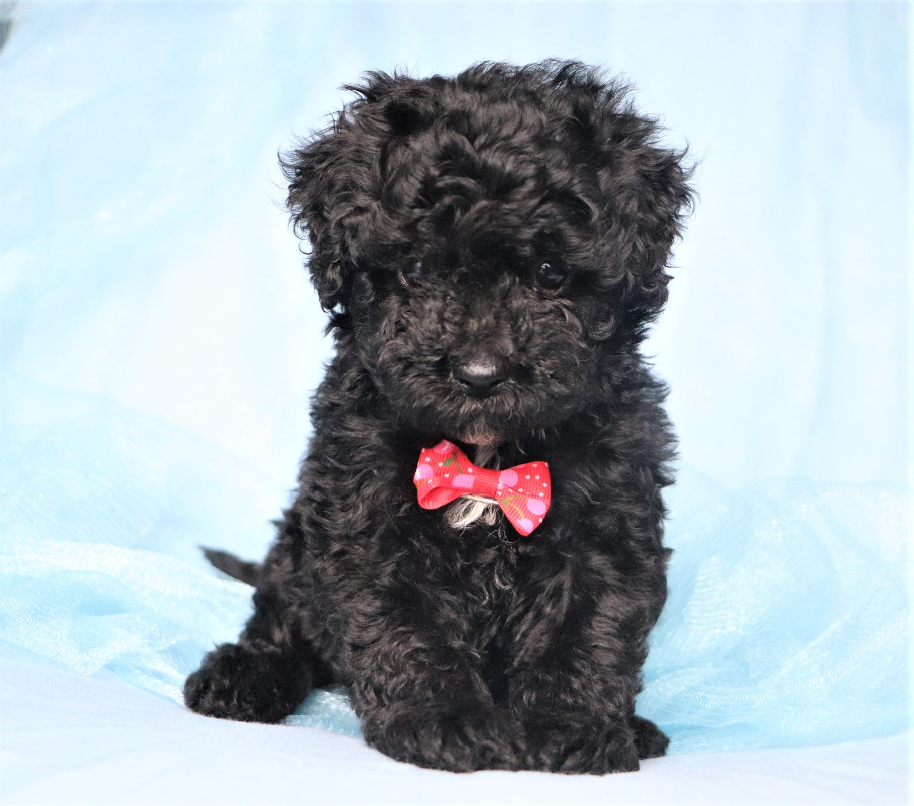 *RESERVED*Gnocchi Male Morkiepoo Puppy