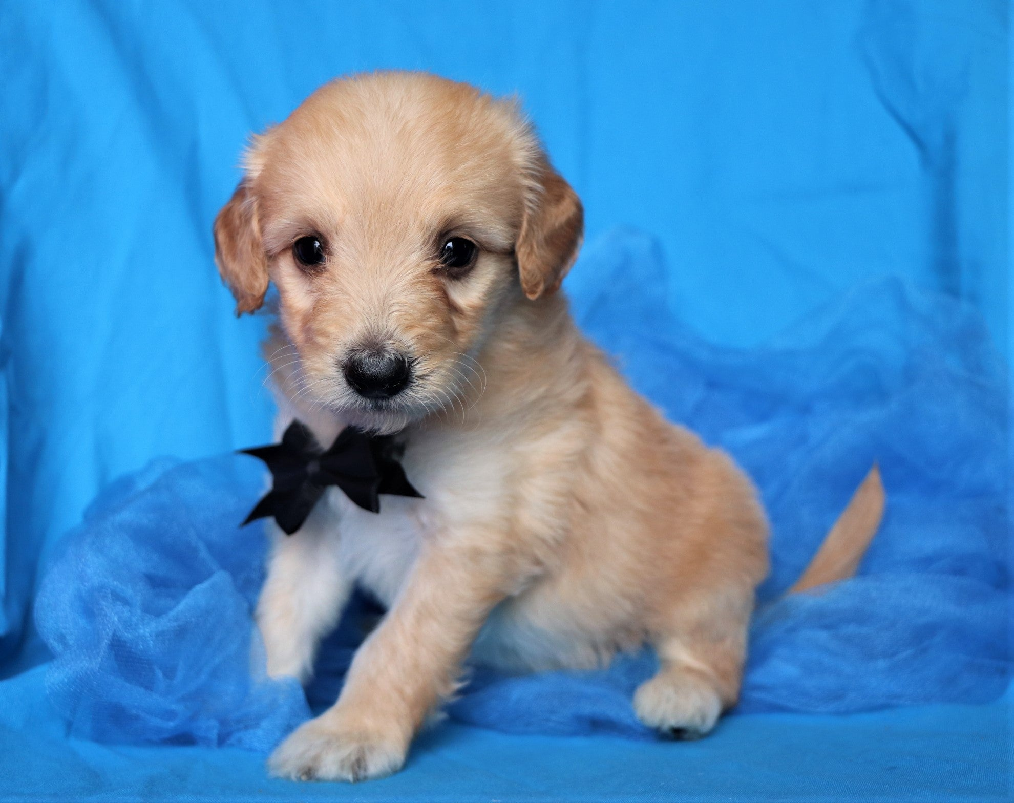 Pumba Male F1B Mini Goldendoodle Puppy*