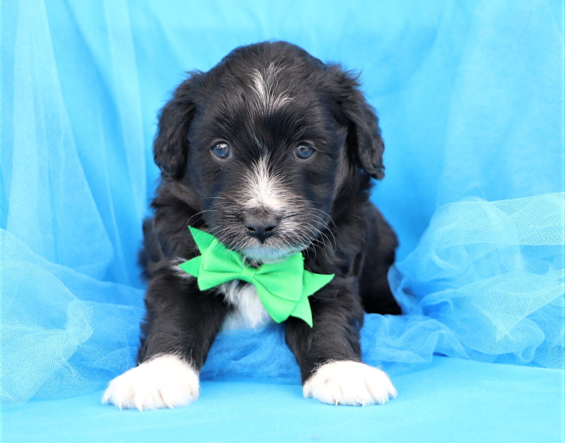 Reno Male Mini Aussiedoodle Puppy*