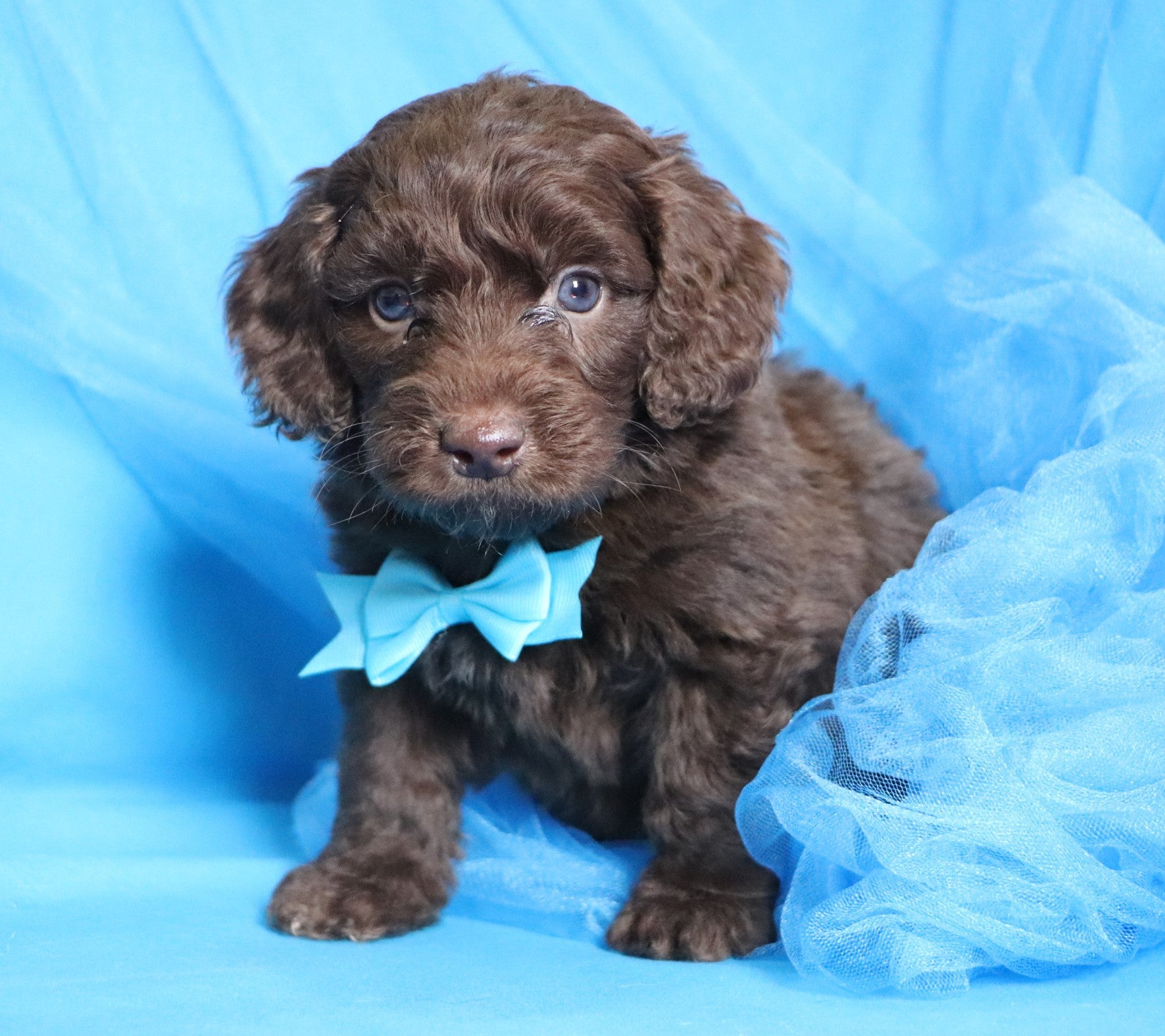 *RESERVED*Bear Male Chocolate F1B Mini Goldendoodle Puppy*