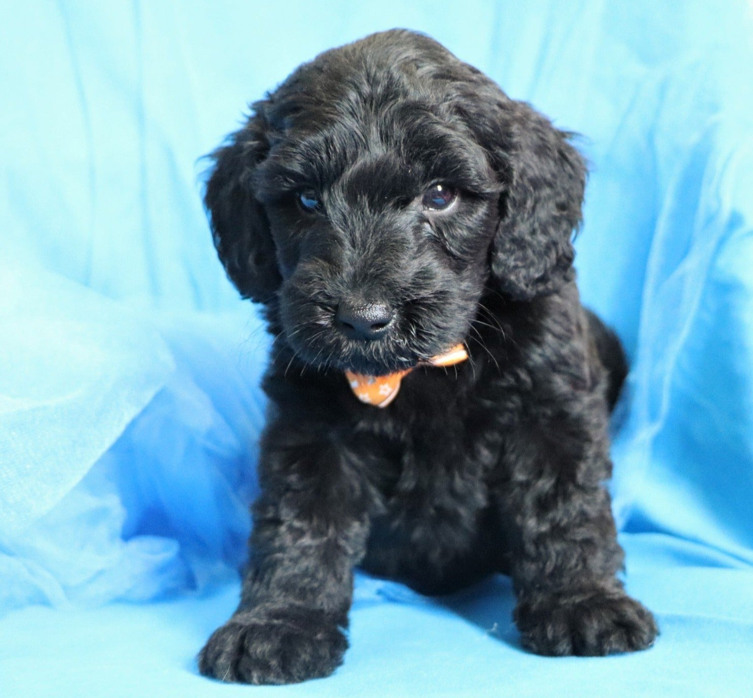 *RESERVED*Yosemite Male F1B Mini Goldendoodle Puppy*