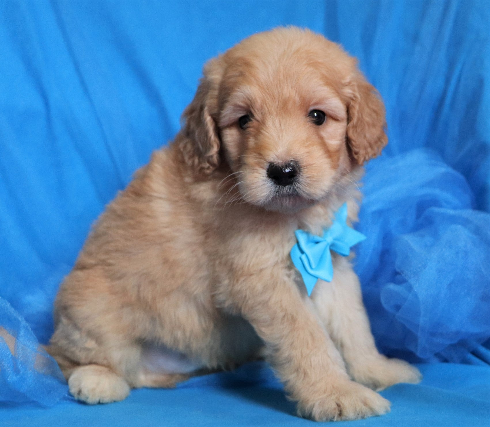 *RESERVED*Rocky Male F1B Mini Goldendoodle Puppy*