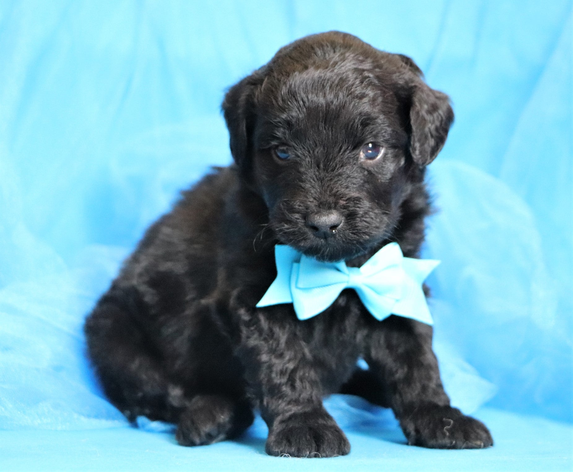 *RESERVED* Sable Male F1B Mini Aussiedoodle Puppy