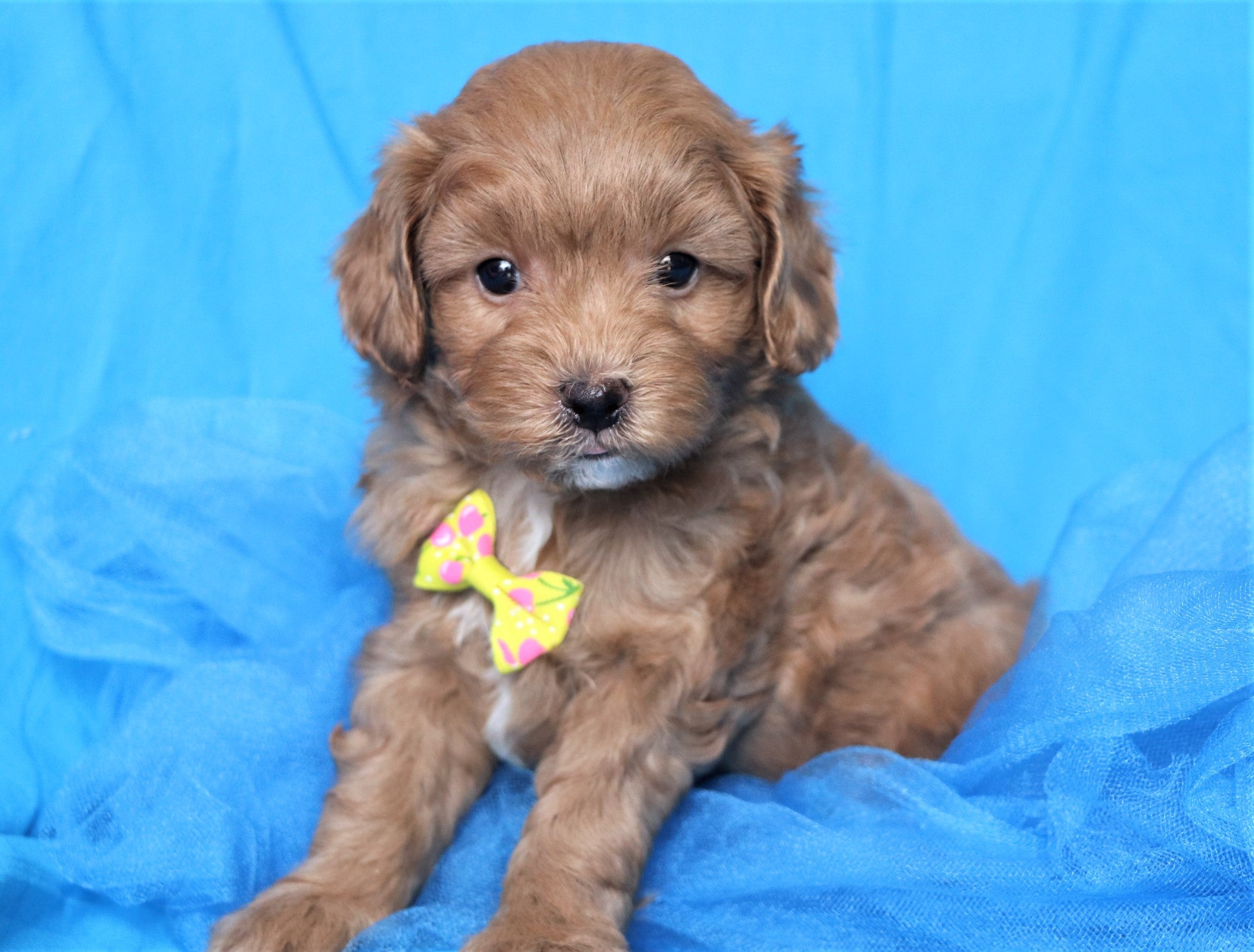 *RESERVED* Zuma Male Cavapootzu Puppy