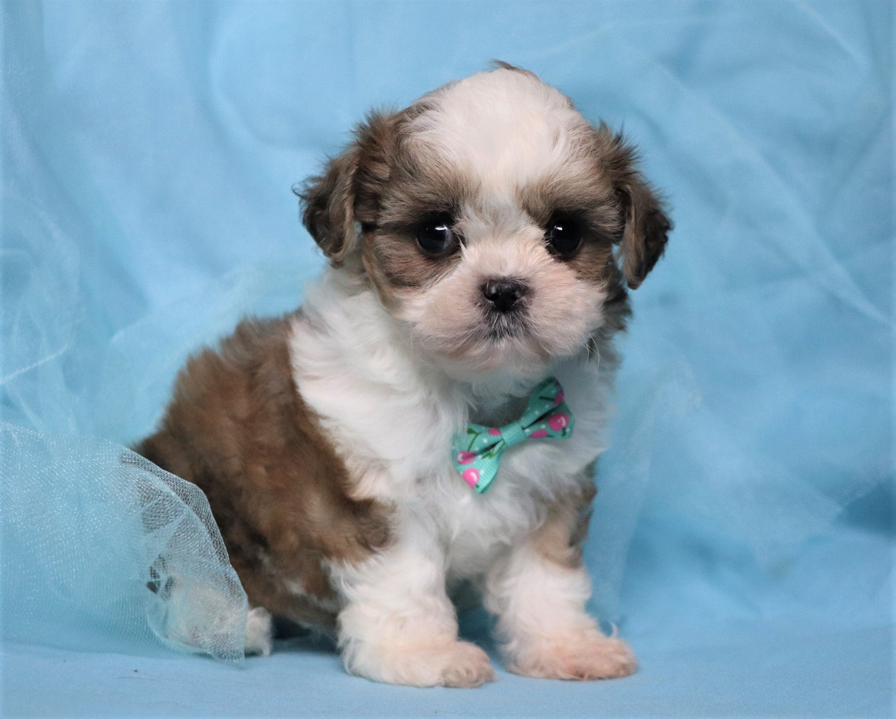 *RESERVED* West Male Teacup Teddy Bear Puppy*