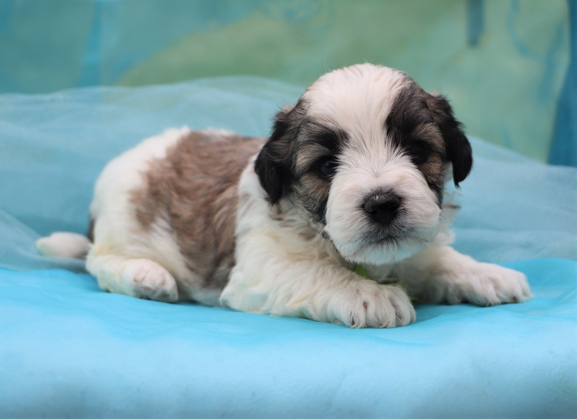 *RESERVED*Wizard Male F1B Teacup Teddy Bear Puppy*