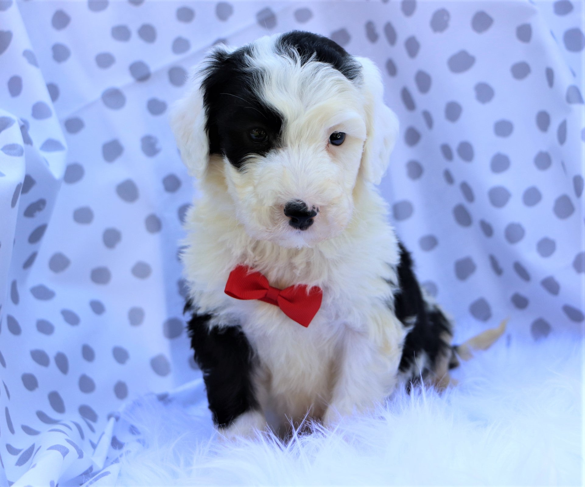 *RESERVED* Asher Male Sheepadoodle Puppy*